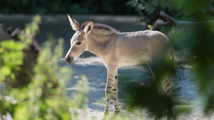 Nachwuchs bei seltenen Somali-Wildeseln im Zoo Basel