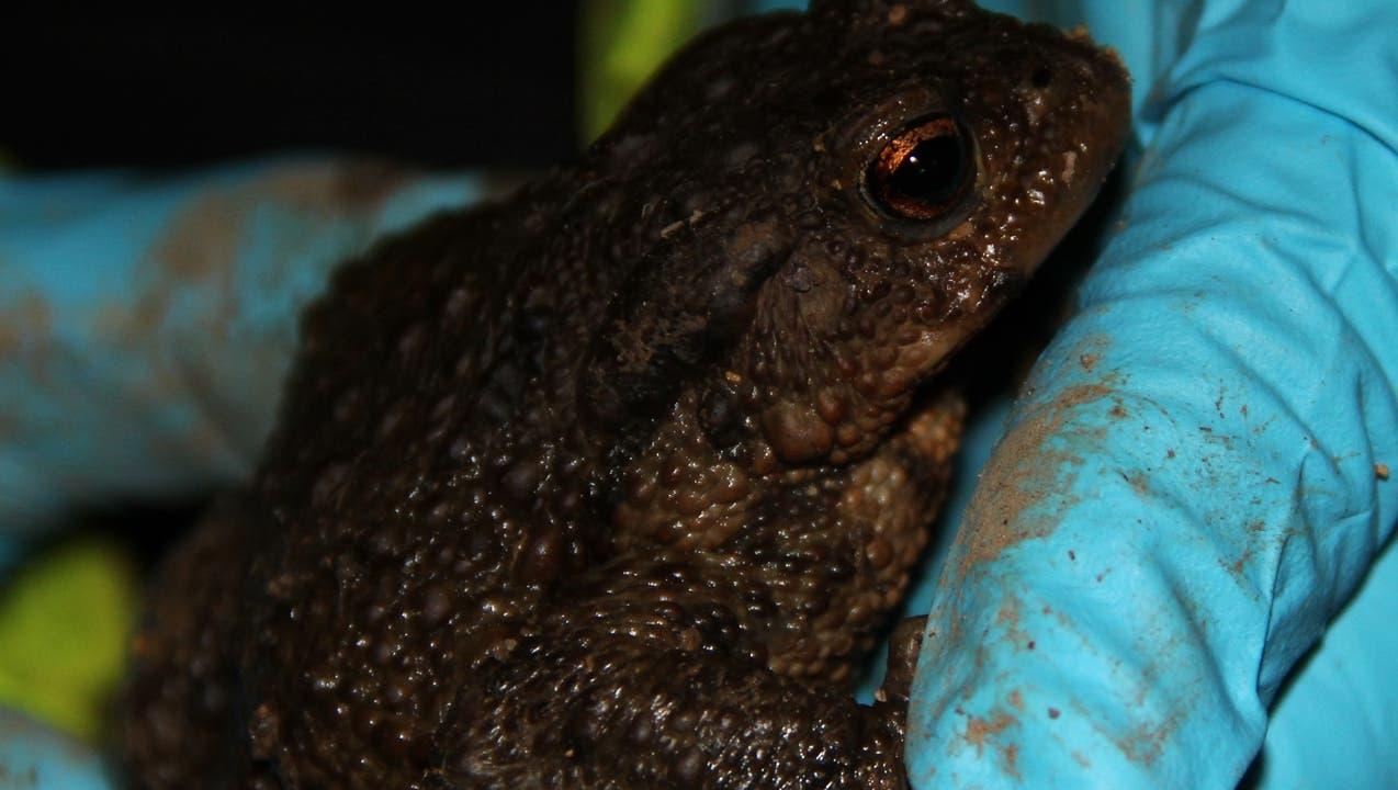 Amphibien-Taxi rettet Frösche und Kröten vor dem Strassentod