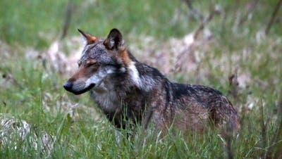 Im Sarganserland ist die Präsenz von einem Wolfspaar seit rund einem Jahr bekannt. (Symbolbild) (Keystone)