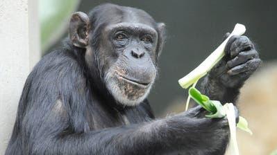 Im Basler «Zolli» werden nicht-menschliche Primaten erforscht. (ap dapd)