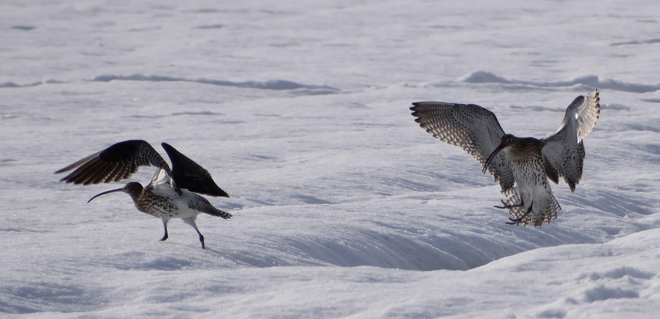 Brachvögel im Winter.