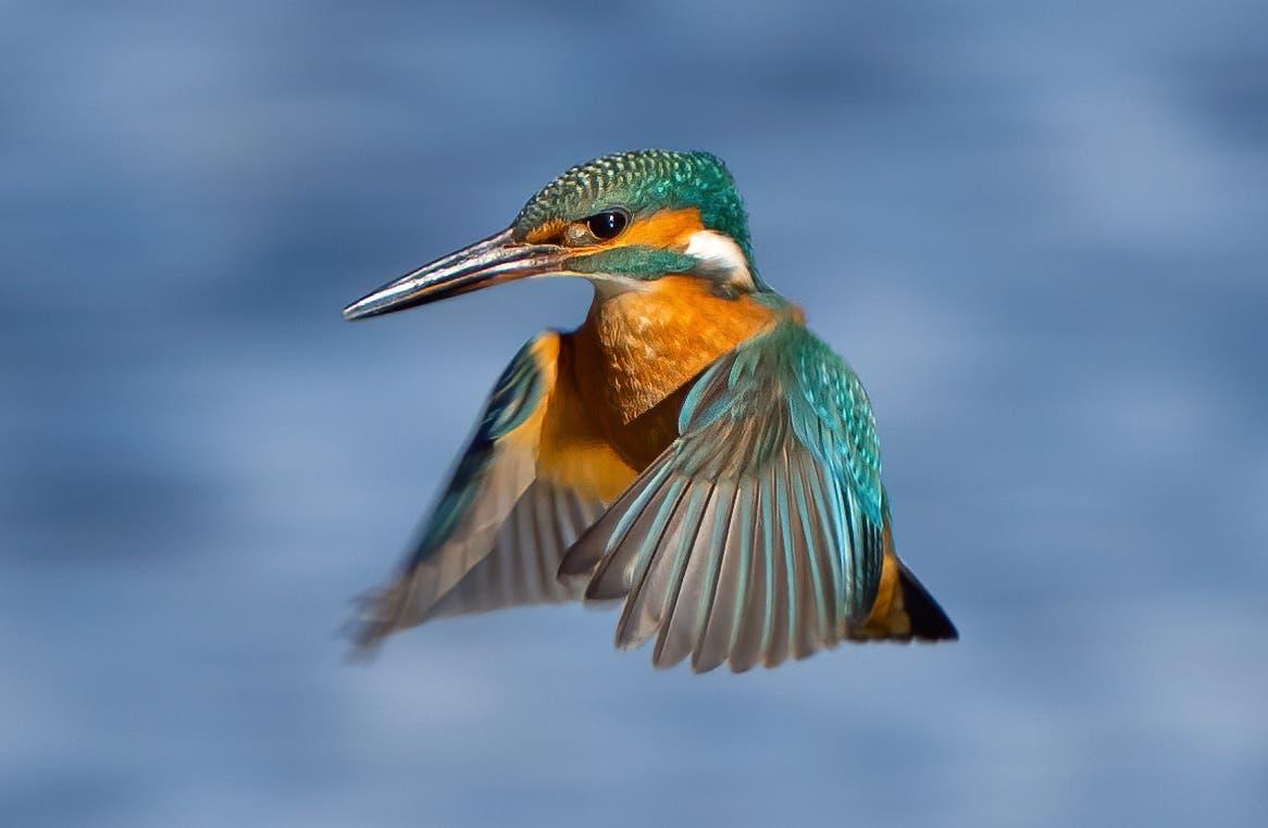 Und der farbige Flugkünstler tat dem Fotografen dann auch den Gefallen: Er ging in Ufernähe auf die Pirsch.