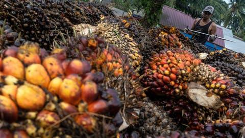 Aus diesen Früchten der Ölpalme wird das umstrittene Palmöl gewonnen. (Zikri Maulana/Getty (Geredong Pasee, 29. Februar 2020))