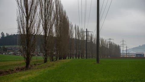 Diese Pappeln entlang der Ron sollen Mitte Januar gefällt werden. (Bild: Dominik Wunderli (Dierikon, 5. Januar 2020))