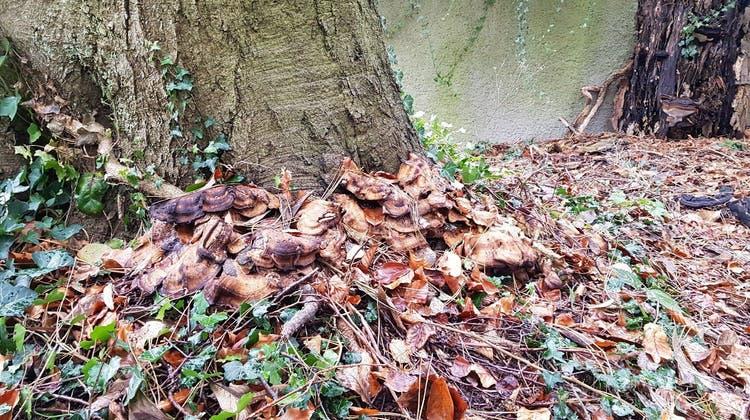 Aufgrund eines Pilzbefalls wird die Buche an der Gibelstrasse gefällt — es kommt zu einer Strassensperrung
