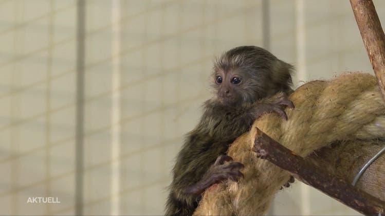 Moyo, Tayo und Kayo: Die Affenbabys im Vogelpark Ambigua sind getauft
