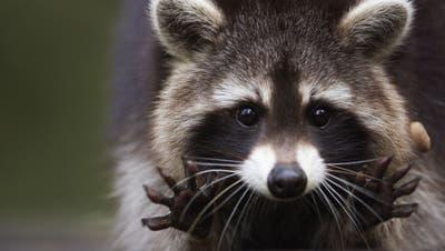 Der aus Nordamerika eingeschleppte Waschbär ist ein geschickter Jäger und kann die einheimischeFauna schädigen. (Dietmar Nill / wolf@linnea-images.de,SOL)