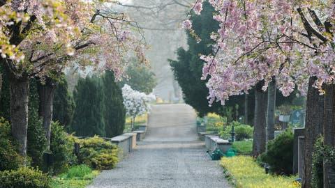 Ein von Kirschblüten gesäumter Weg auf dem Friedhof Oberkirch. (Bild: Donato Caspari(03.04.2017))