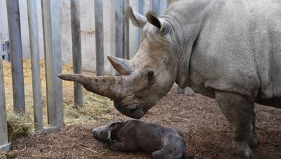 Nachwuchs im Zoo Zürich: Erste Geburt eines seltenen Nashorn-Babys
