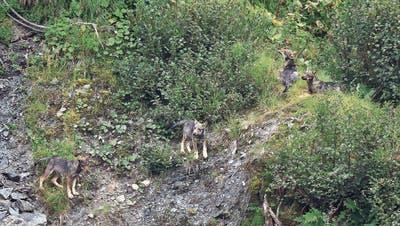 Nach dem Nein zum Jagdgesetz: Die Bergkantone heulen auf – eine neue Revision ist schon in der Pipeline