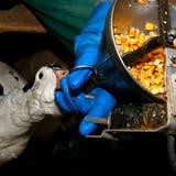 Initiative will Stopfleber verbieten – Migros führt welche im Sortiment