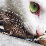 Katzensteuer oder Kastrationspflicht? – Politik will Katzen an den Kragen