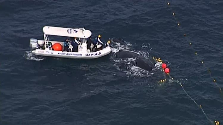 Spektakuläre Rettungsaktion: Wal mit Kalb aus Haifisch-Netz befreit
