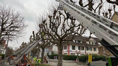 Im Langen Loh sind bei den Platanen derzeit Baumschnitt-Arbeiten der Stadtgärtnerei im Gange. Dies muss auch bei eisiger Kälte erledigt werden. (Bild: Zvg)