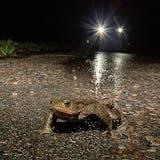 Trotz warmem Winter: Amphibien brechen erst jetzt auf zur gefährlichen Hochzeitsreise