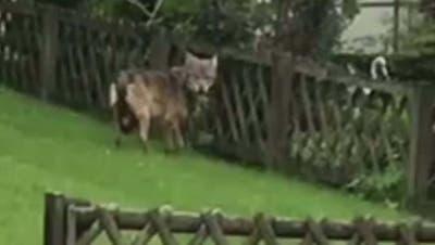 Spektakuläres Video: Hier marschiert ein Wolf durch ein Giswiler Wohnquartier