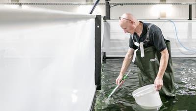 Turbulenzen statt Meilenstein: So leidet die Shrimpszucht unter derCoronakrise