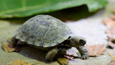 Brand im Gehege tötet acht Schildkröten – Bezirksgericht verurteilt Mann wegen Tierquälerei