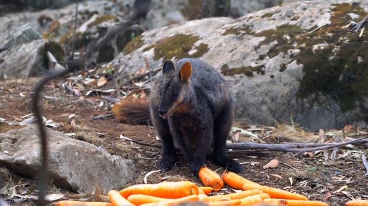 «Tödlich still» in Australiens Wäldern – Wildhüter kämpfen mit Karotten gegen das Artensterben