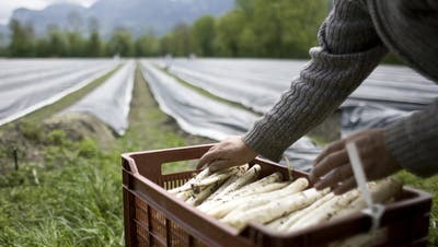 Saisonarbeiter können nicht einreisen: Coronakrise bedroht die Spargel-Ernte