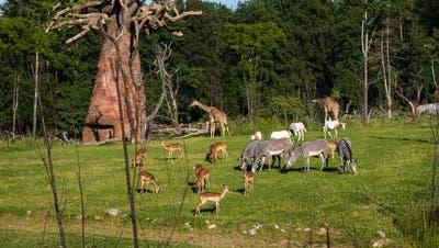 Die Zoos öffnen wieder – und in Zürich weht der heisse Wind durch die neue Lewa Savanne