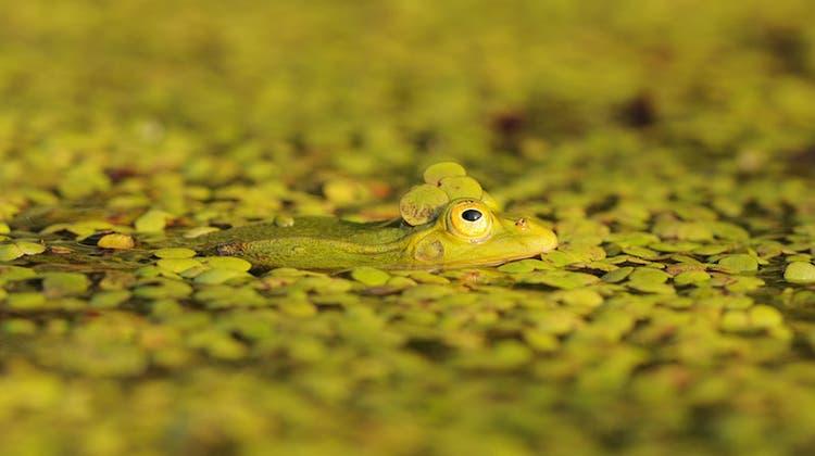 Wasserfrosch, Ringelnatter und Plattbäuche – Naturbeobachtungen im Ronfeld in Hochdorf