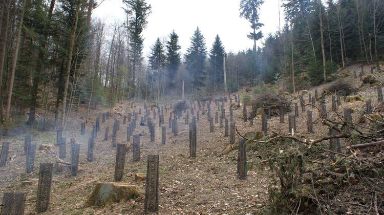 Bäumlipflanzaktion von Natur- und Vogelschutzverein und Forstamt für den Jahrgang 2020