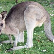 «No Kangaroos In Austria.» Im Doppelmayr-Zoo in Wolfurt gibt es einige Exemplare. (Bild: fotolia)
