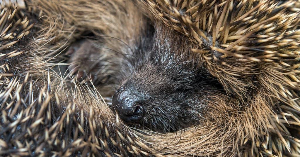 Tiere Im Winterschlaf Bitte Nicht Stören Stgaller Tagblatt
