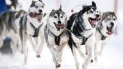 Verkehr in Grönland: unterwegs mit den Schlittenhunden anstatt dem Auto. (Bild: Keystone)