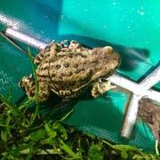 Die Erdröte bleibt am Zaun hängen und kann so gerettet werden. (Bild: PD)
