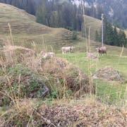 Auf der Chnubelalp bei Finsterwald im Entlebuch hat sich das Gras wegen der Trockenheit bereits verfärbt. (Bild: PD)