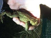 Eine Helferin zeigt eine gerettete Kröte. (Bild: PD/Marion Gessner)
