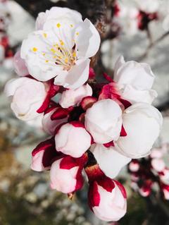 Ein Aprikosenbaum in voller Blüte. (Bild: Beatrice Brunner, Udligenswil, 23. März 2019)
