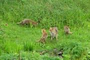 Eine Fuchsfamilie am Weiher. (Bild: Stadtwildtiere/Urs Oberli)