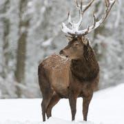 Rothirsche zieht es im Winter in tiefere Lagen. (Bild: Wolfgang Kruck/Fotolia)