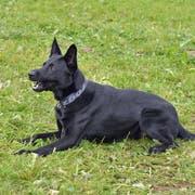 Folgte einer kilometerlangen Fährte - und wurde fündig: Der Polizeihund «Dodge». (Bild: Luzerner Polizei)
