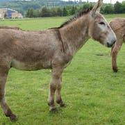 Ein Mann missbrauchte in Triesenberg einen Esel. (Bild: Symbolbild Susann Basler)