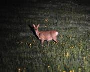 Jedes Jahr werden in der Dämmerung oder in der Nacht Bestandesaufnahmen des Wildes gemacht. (Bild: PD)