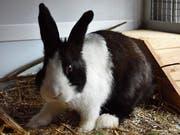 Das Kaninchen Janosch lebt nun auf dem Papageien- und Büsihof in Dicken. (Bild: Michael Hehli)