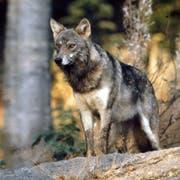 Der Wolf (hier ein Symbolbild vom Tierpark Goldau) zieht immer wieder durch Urner Gemeinden. (Bild: Roman Cuonz, 2015)