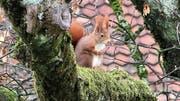 Ein Eichhörnchen in der Stadt St.Gallen. (Bild: Stadtwildtiere/Hedwig Spielmann)