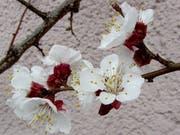 Aprikosen sind beliebte Spalierbäume. Damit sie aber so schön blühen und nachher auch reichlich Früchte tragen, müssen sie richtig gepflegt werden. (Bild: Reto Voneschen - 21. März 2018)