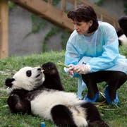 Doris Leuthard füttert einen jungen Panda. (Bild: Alessandro Della Bella (Chengdu, 12. Juli 2007))