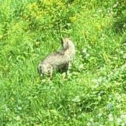 Das Bild zeigt den Wolf im hohen Gras im Gebiet Bostadel in Menzingen. Bild: PD