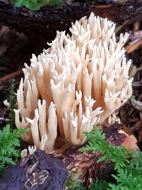 Ein Pilz wie eine Koralle im Wald bei Sitterdorf. (Leserbild: Reto Schlegel - 25. September 2018)