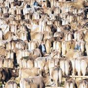 Auf dem Viehschauplatz werden die Kühe in Reih und Glied aufgestellt, bevor sie von den Experten begutachtet werden. (Bild: David Scarano)