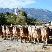 Sonntägliche Viehschau in Buchs vor beeindruckender Kulisse. (Bilder: Hansruedi Rohrer)