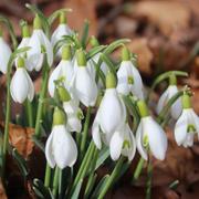 Für kommende Woche sagen die Wetterfrösche nochmals Kälte und allenfalls sogar Schnee voraus. Bevor der Winter aber zurückkommt, freuen wir uns an den überall spriessenden Frühlingsboten. Im Bild Schneeglöcklein im Park der Universität auf dem Rosenberg. (Leserbild: Jacqueline Kisling - 1. März 2019)