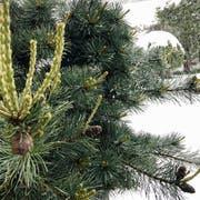 Waldkirch: Wintereinbruch im Mai (Bild: Doris Sieber)